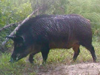 Matt Talbert was hunting on the Struttin' Buck Hunting Club when he killed this nearly 300-pound big hog nicknamed Mr. T.