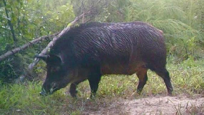 Matt Talbert was hunting on the Struttin' Buck Hunting Club when he killed this nearly 300-pound big hog nicknamed Mr. T.