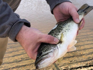 Approximately 1,200 Florida largemouth bass, like the one pictured here, have been stocked into Bundick Lake.