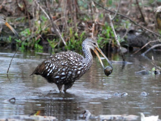The limpkin, which has a strong appetite for apple snails, has been spotted in Louisiana.