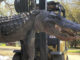 This gator was harvested by Ned McNeely during a private land hunt in April 2021. (Photo courtesy of Cordray's Processing)