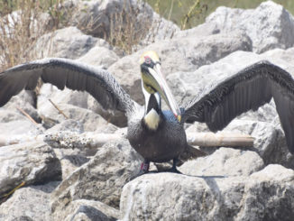 The brown pelican photographed by LDWF biologist Casey Wright on Queen Bess Island in March 2021. (Photo courtesy LDWF)