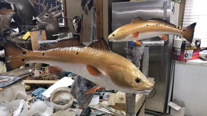 Part of a taxidermist's job is to duplicate the colors of the fish when it was still swimming.