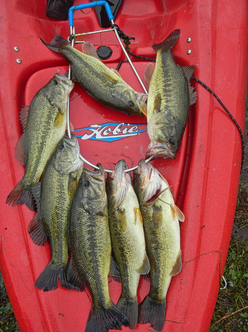 These bass saved the day on a cast-and-blast outing when the ducks didn't cooperate. They were caught in the same pond where the author set up for ducks.