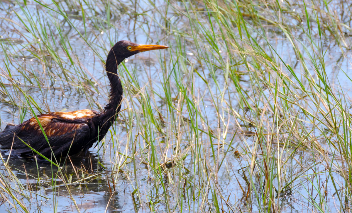 An oiled tricolored heron observed at the Alliance Refinery oil spill. (Photo courtesy LDWF)
