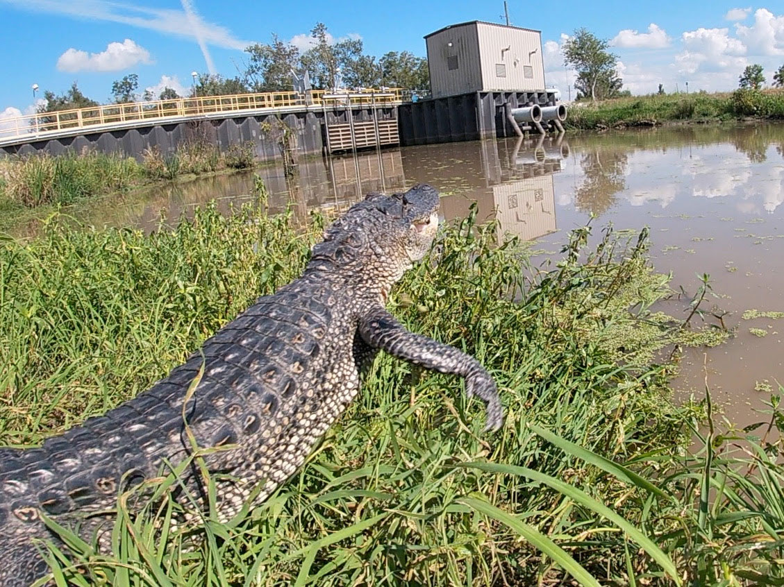 An American alligator launches into a canal on the Bayou Teche NWR. (Photo courtesy LDWF)