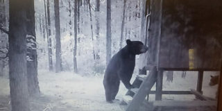 Black bears making themselves at home in someone's deer stand.